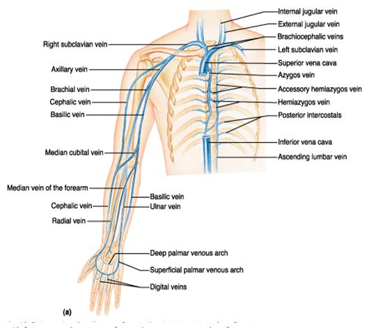 Upper extremity anatomy – arteries , veins , muscles